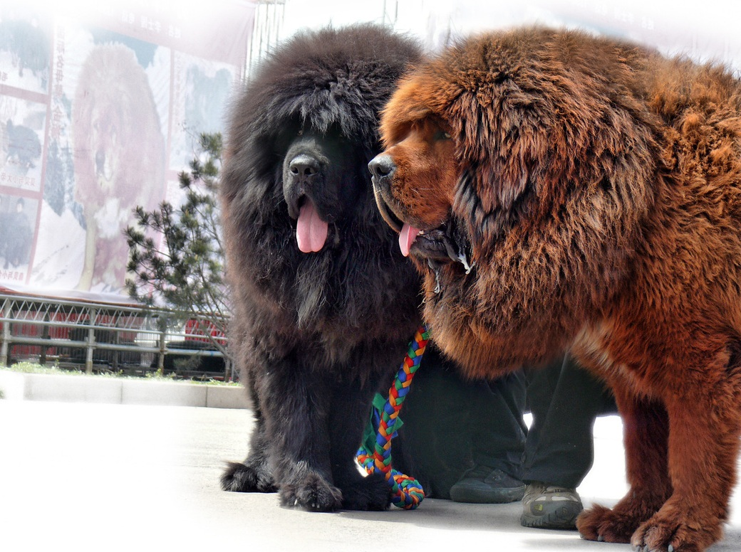Tibetan-Mastiff-Wallpapers