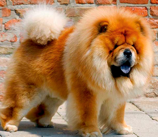 carattere dei cani chow chows